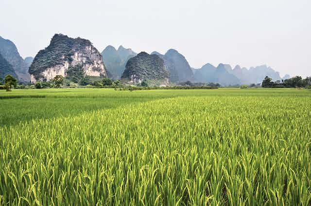 A karst landscape in China showing tall narrow eroded limestone peaks behind a rice paddy field.