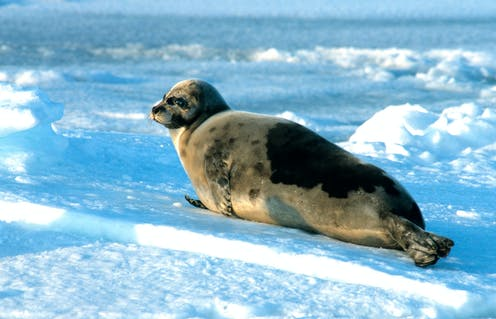 A seal with a soft grey coat reclines on ice.