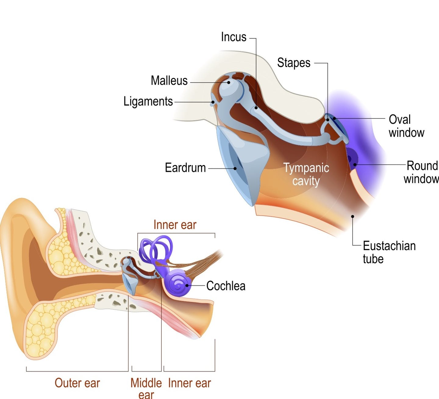 diagram of whole ear with inset of middle ear