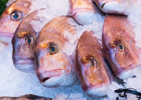 Cinco peces muertos expuestos sobre capa de hielo.