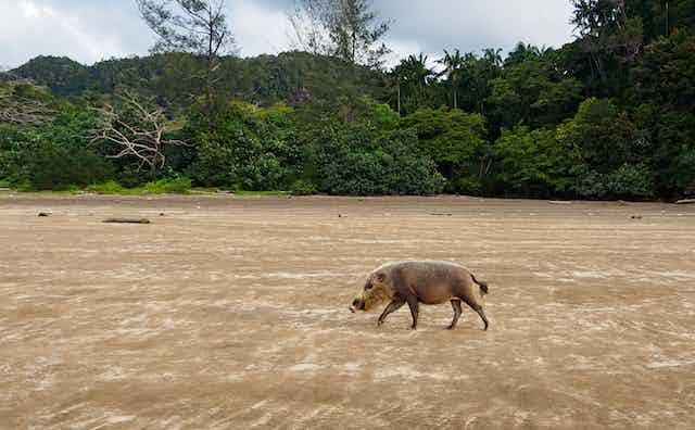 bearded pig on beach