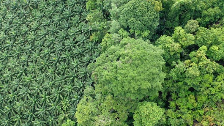 oil palm plantation meets rainforest