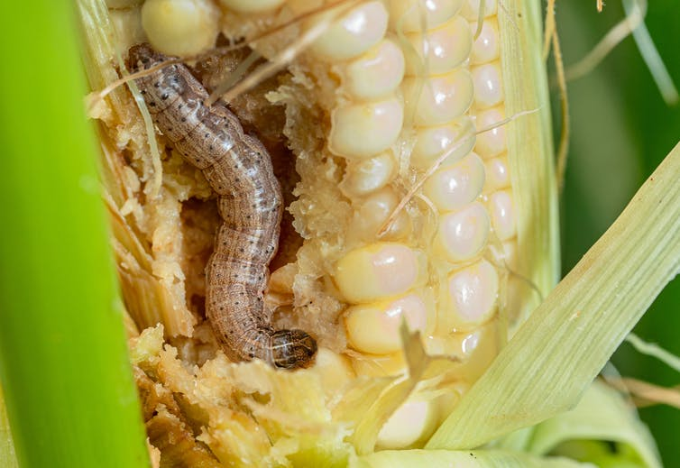 The fall armyworm invasion is fierce this year – and scientists are researching how to stop its destruction of lawns, football fields and crops