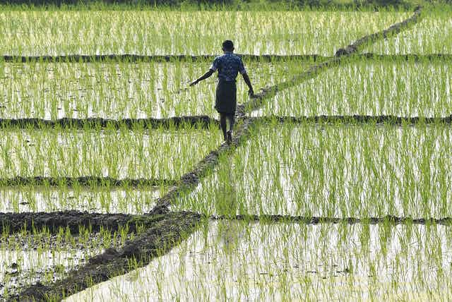 Man crosses flooded rice field walking on raised dike.