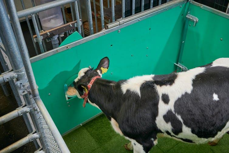 Calf consumes the reward.