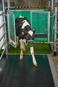 Calf exits through a gate.