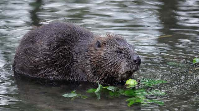 A Eurasian beaver in water