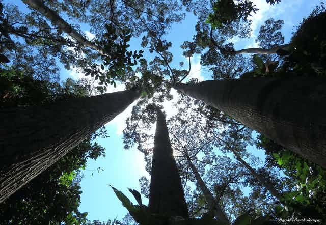 A view of a canopy from the forest floor.