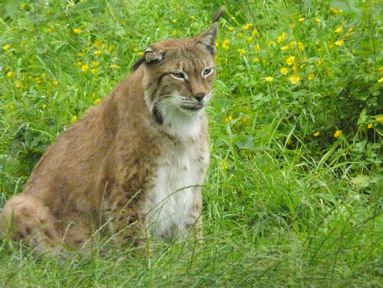 A ginger-white lynx with glazed look and tongue sticking out in field of buttercups.