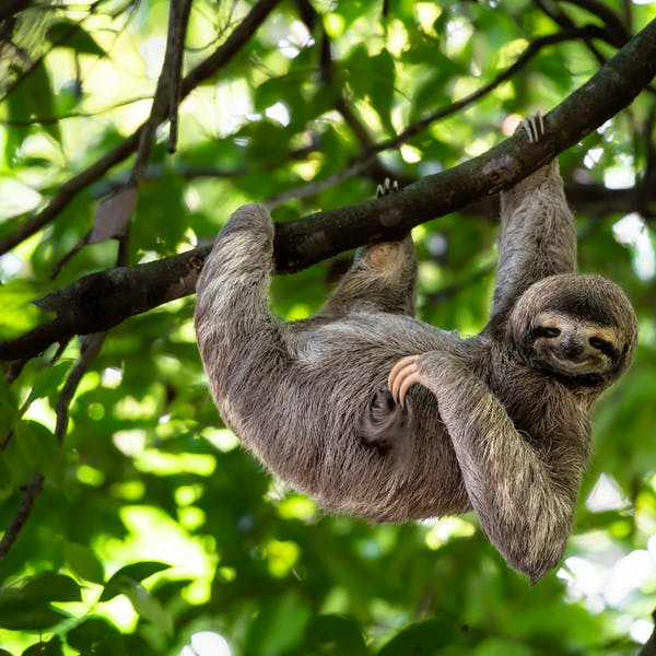 Curious kids: why do sloths go slow?