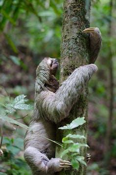 Sloth climbing a tree trunk