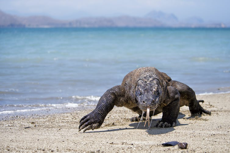A Komodo dragon ambles along a tropical beach.