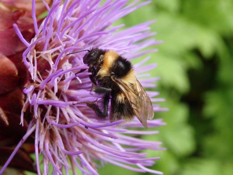 A bumblebee foraging on a purple flower (Author's own photograph)