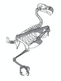 Silhouette of bird skeleton with bones highlighted