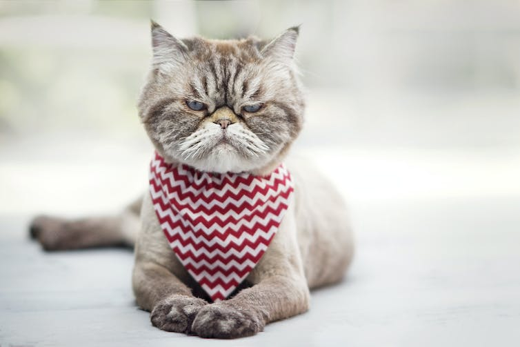 Angry cat looking at the camera through narrowed eyes. It wears a red and white bandana around its neck.