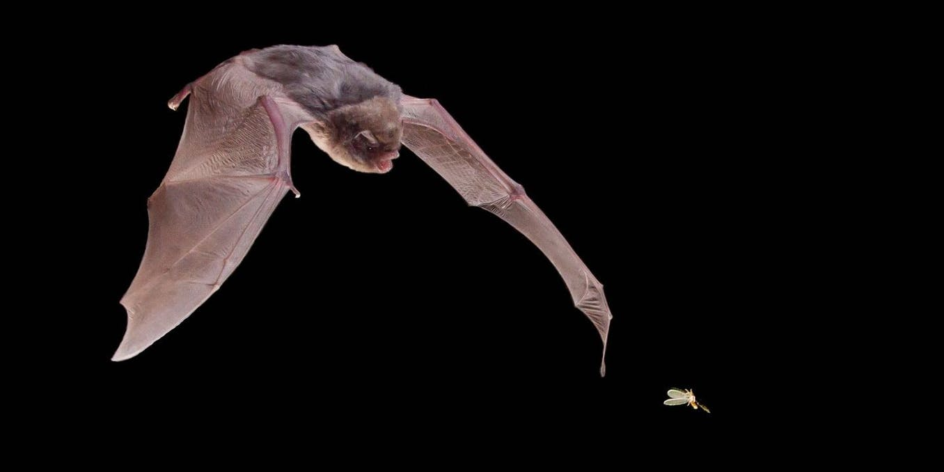 Moths use acoustic decoys to dodge bat attacks – new research - The Conversation UK