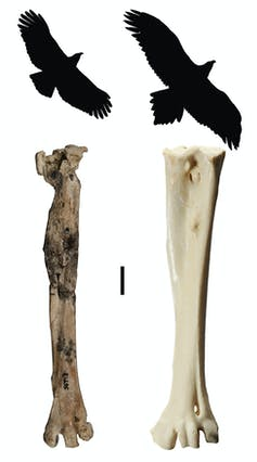 Fossil raptor bones
