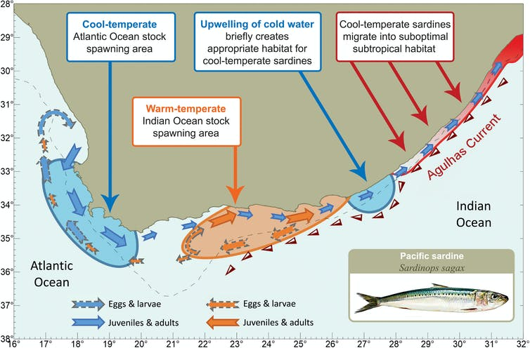 An illustration explaining how sardine migration is influenced by genetic adaptations to water temperature