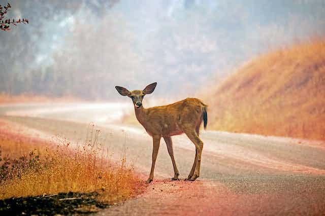 Deer on roadside looking at camera