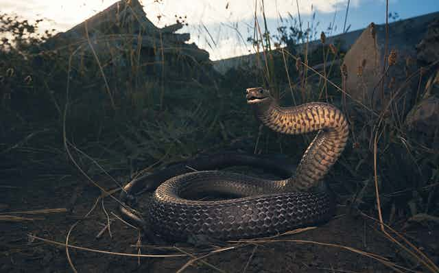 Snake near houses at dusk