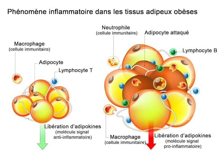 Tissu adipeux et intervention de cellules immunitaires lors d'une inflammation