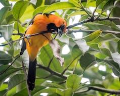 Orange and black bird on a branch.