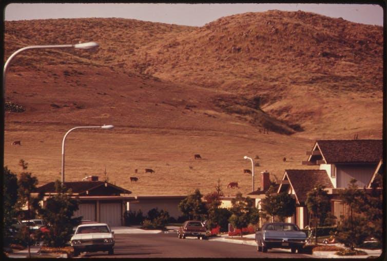 Cows graze on hill overlooking suburban development.