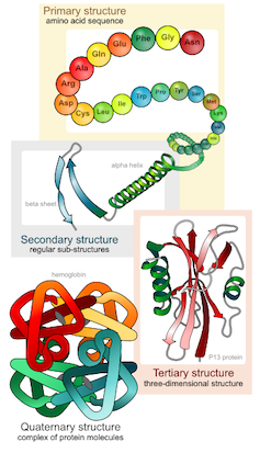 Illustration of the four levels of protein structure.