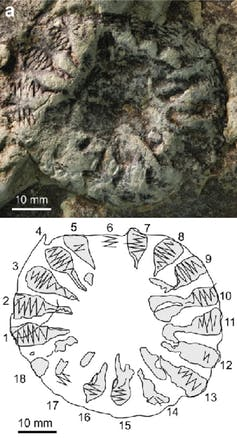 Found fossil photo and diagram