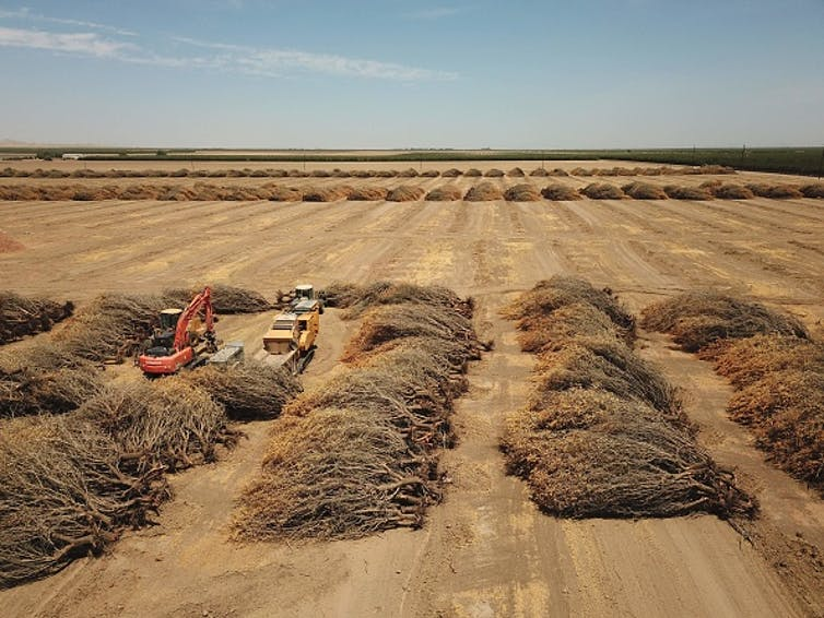 Dozens Of Dead Almond Trees Rowed Up On Their Sides In A Field.