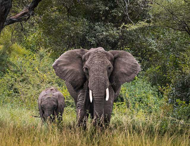 An elephant and its child walk through grass
