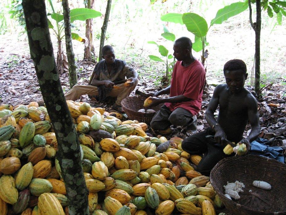 cocoa farmers breaking pods
