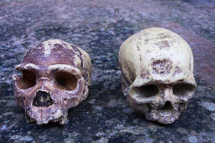 Image of skulls: Homo heidelbergensis compared with a modern human human.