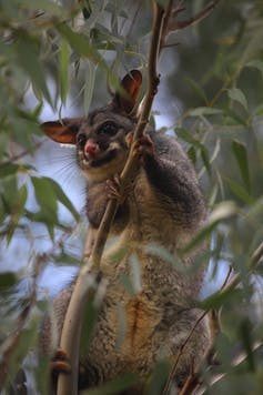 A possum is in a gum tree.
