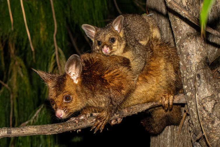A mother and baby possum in a tree.