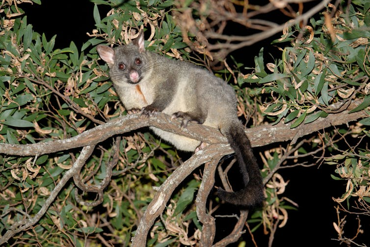 A possum is in a tree.
