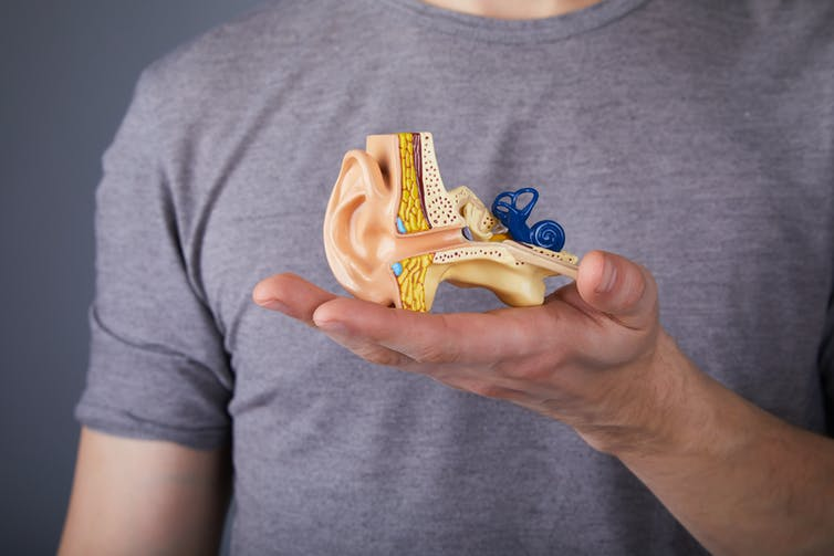 Man holds model of ear