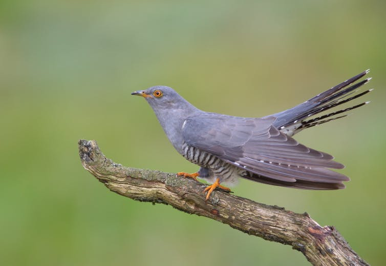 A common cuckoo sits on a branch