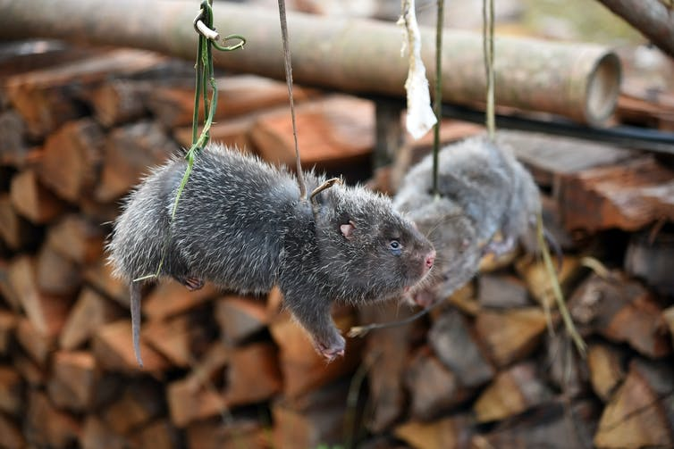 Two gray and furry rodents were hanging on the green rope.