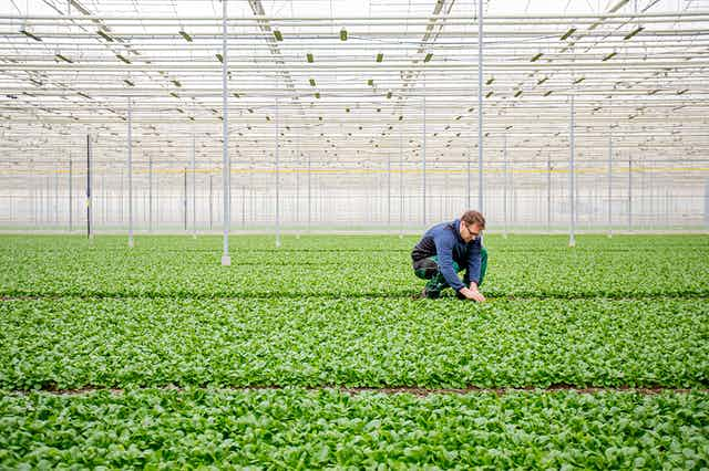 A man tends to rows of food plants in an industrial greenhouse.