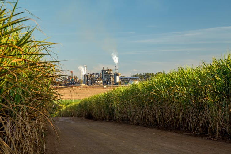 A road bisects a sugar cane crop with a refinery in the distance.