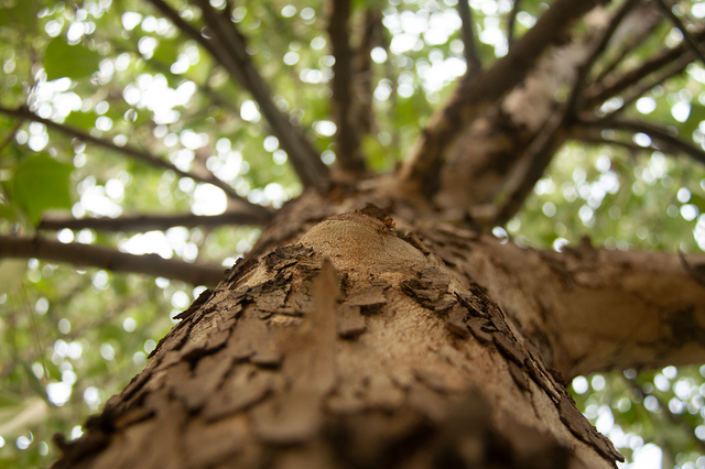 Looking up the trunk of a tree.