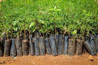 Hileras de árboles jóvenes recubiertos de plástico.