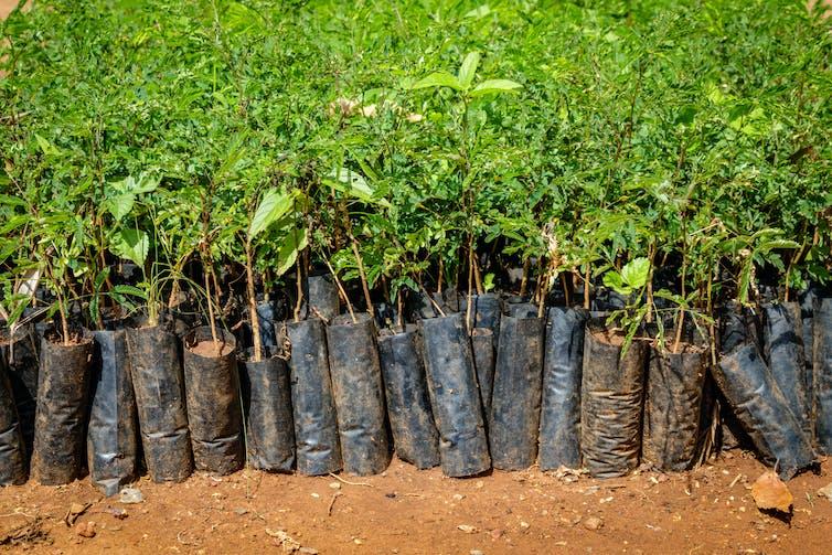 Rows of tree saplings coated in plastic.