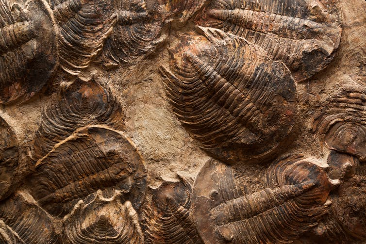 Trilobites once filled the world's oceans but died out at the end of the Permian.