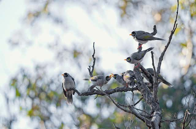 Five noisy miners on a branch