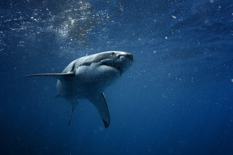 A great white shark goes through the ocean.