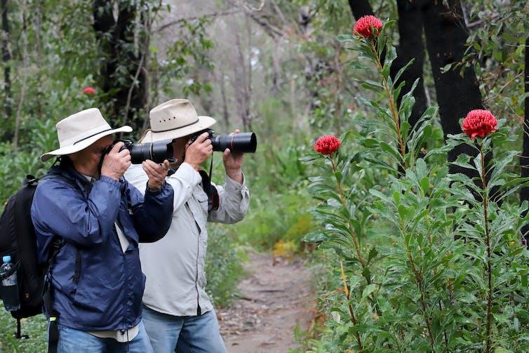 bushwalkers photographing waratah flowers