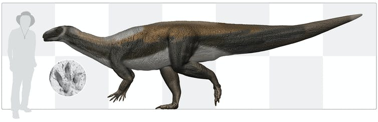 Australia's oldest dinosaur, reconstructed based on a fossilised tracks founnd in 220 million year old rocks from Ipswich.