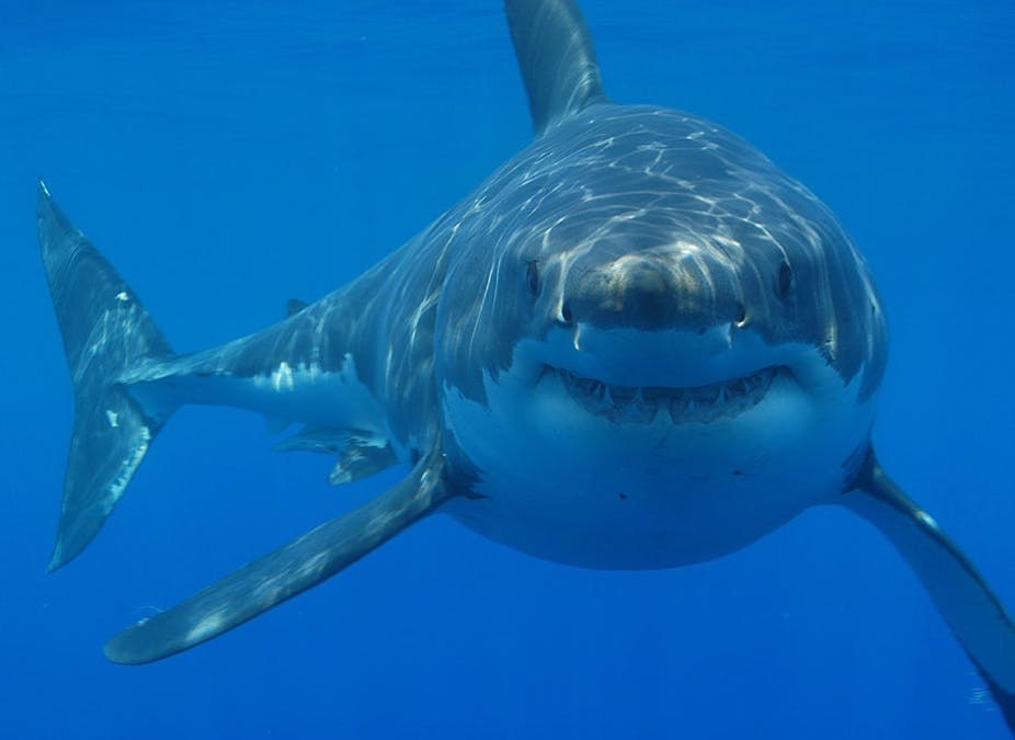 The Exciting Prospect Of A Great White Shark In Uk Waters